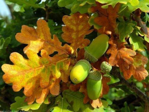 Ритуал на дубовые листья