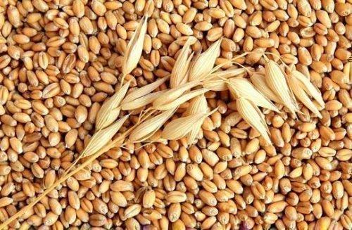 Ячменные зерна для привлечения удачи