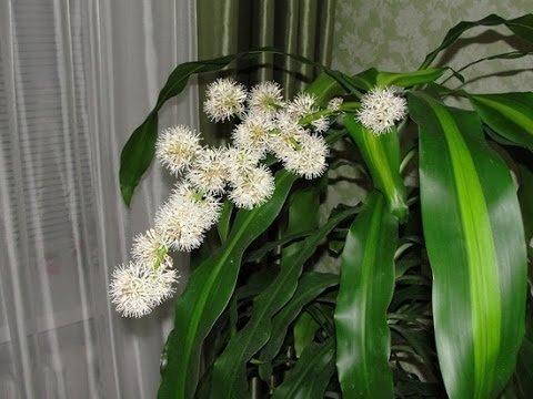 Цветы драцены