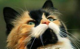 Особенности содержания дома трёхцветной кошки