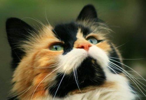 трехцветная кошка в доме приметы