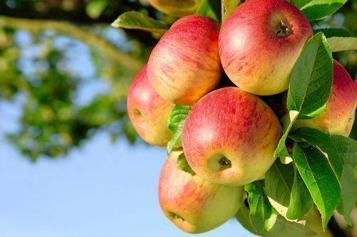 Наиболее подходящими являются яблоки, сорванные с дерева самостоятельно