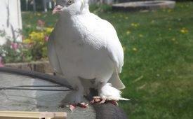 Что предвещает встреча с белыми голубями