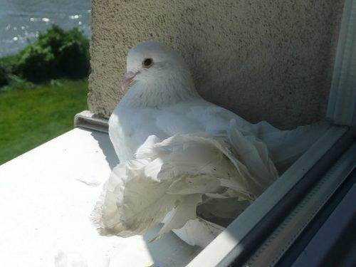 Белый голубь на окне