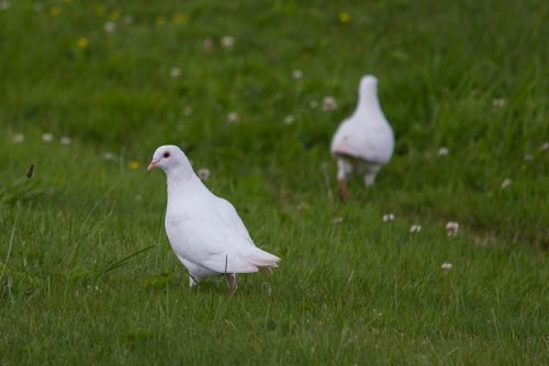 Белый голубь на траве