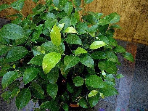Фикус Бенджамина растение