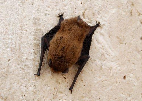 Летучая мышь на стене