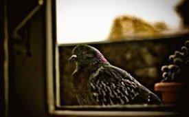О чем могут предупредить голуби