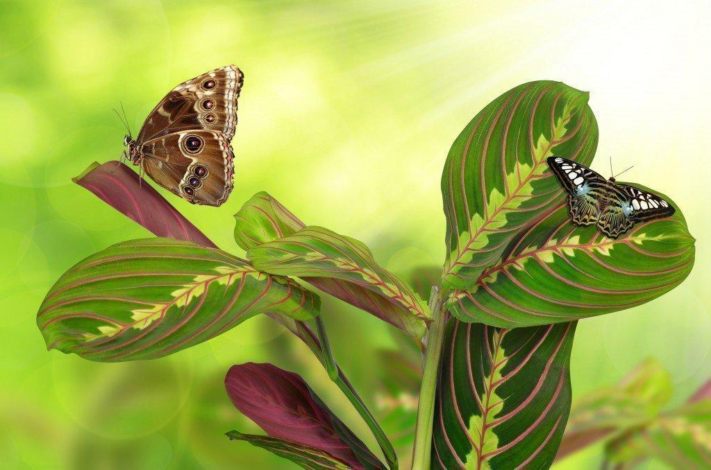 Цветок маранта — приметы, свойства и уход