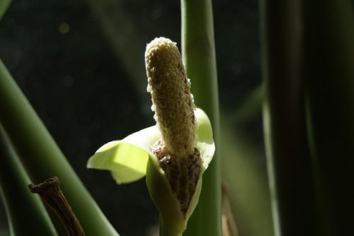 Замиокулькас цветет