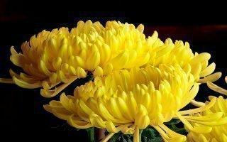 Приметы о желтых и белых хризантемах