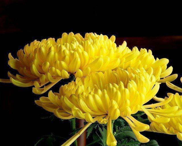 Что означает желтый цвет хризантем